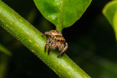 Jumping spider on green leaf Royalty Free Stock Images