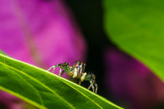 Jumping spider on green leaf Royalty Free Stock Image