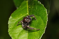Jumping spider on green leaf Stock Photography
