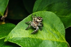 Jumping spider on green leaf Stock Images