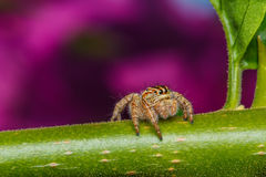 Jumping spider on green leaf Royalty Free Stock Photos