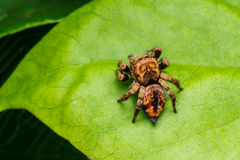 Jumping spider on green leaf Stock Image