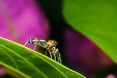 Jumping spider on green leaf Stock Photos