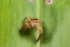Jumping spider on a green leaf extreme close up Stock Photos