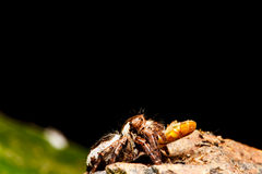 Jumping spider on green leaf Royalty Free Stock Photography
