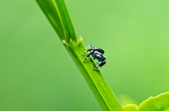 Jumping spider in green nature Stock Images