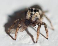 Jumping spider, Heliophanus Salticidae Stock Image