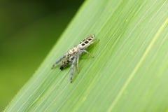 Jumping spider. In Hiroshima,Japan Stock Image