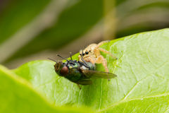 Jumping spider hunting fly Stock Photo