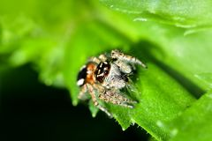 A jumping spider hunting for prey on a green background. stock images