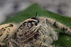 Jumping spider Hyllus on a green leaf, extreme close up Royalty Free Stock Image