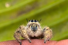 jumping spider Hyllus on a green leaf Royalty Free Stock Images