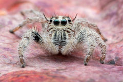 Jumping spider Hyllus Stock Photos