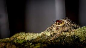 Jumping spider Hyllus sp Stock Image