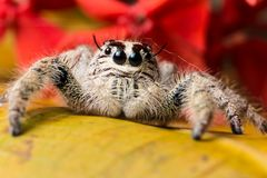 Jumping Spider Hyllus on a yellow leaf red flower background Stock Photos