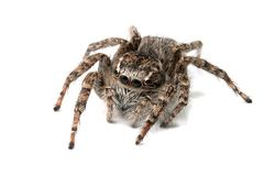 Jumping spider isolated Royalty Free Stock Images