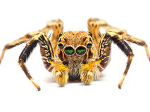 Jumping spider isolated on white background. royalty free stock images