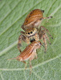 Jumping spider killing cricket. A tiny jumping spider has caught a cricket and is eating it while sitting on a leaf royalty free stock photo