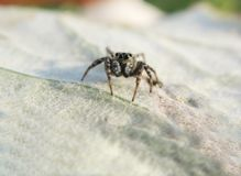 Jumping spider on the leaf Royalty Free Stock Images