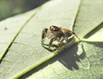 Jumping spider on the leaf Stock Image