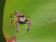 Jumping Spider on leaf. Closeup shot of a Jumping Spider with big round eyes Royalty Free Stock Image