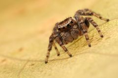 Jumping spider on the leaf. Jumping spider on the autumn leaf Stock Photo