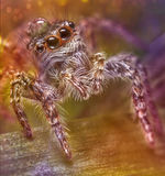 Jumping spider. On a leaf with a drop of head Royalty Free Stock Photos