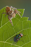 Jumping spider on leaf with fly Royalty Free Stock Photography