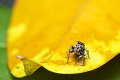 Jumping spider. On leaf in forest Royalty Free Stock Image