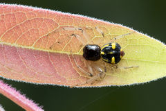 Jumping Spider on the leaf. Stock Photo