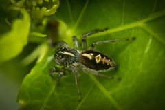 Jumping spider on a leaf Stock Images