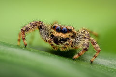 Jumping spider on a leaf Royalty Free Stock Image