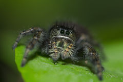Jumping spider on leaf Stock Photo