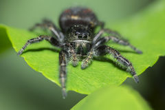 Jumping spider on leaf Stock Photos