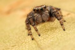 Jumping spider on the leaf. Jumping spider portrait on the yellow autumn leaf Royalty Free Stock Photography