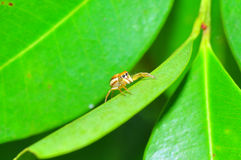 Jumping spider on the leaf. Resting before looking for meal again Stock Image