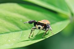 Jumping spider on leaf Royalty Free Stock Photo