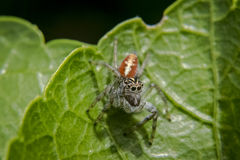 Jumping spider on a leaf Stock Image