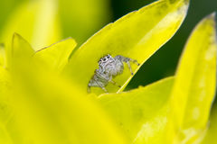 Jumping spider on a leaf Stock Photo