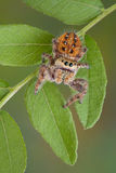 Jumping spider on leaves Royalty Free Stock Photography