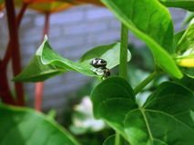 Jumping spider between the leaves Stock Photography