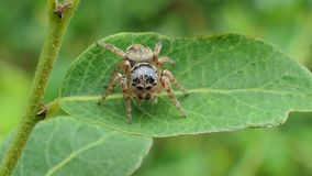 Jumping spider on leaves in tropical rain forest. Hyllus Spider Jumping spider on leaves in tropical rain forest. concept zoom in stock video