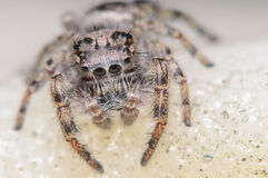 Jumping spider looking sad Royalty Free Stock Photography