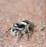 Jumping Spider - Macro Close Up Stock Images