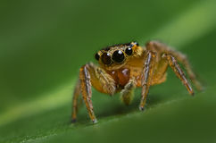Jumping Spider Macro. Jumping spider on a green leaf Royalty Free Stock Photos