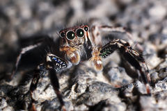 Jumping Spider Macro. Macro of jumping home spider looking furiously ** Note: Shallow depth of field Royalty Free Stock Photo