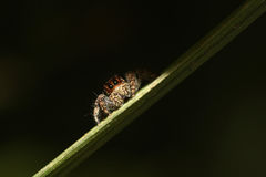 Jumping Spider Macro. Macro of jumping home spider looking furiously ** Note: Shallow depth of field Stock Photo