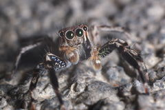 Jumping Spider Macro. Macro of jumping home spider looking furiously ** Note: Shallow depth of field Royalty Free Stock Image