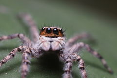Jumping Spider Macro. Macro of jumping home spider looking furiously ** Note: Shallow depth of field Royalty Free Stock Photography