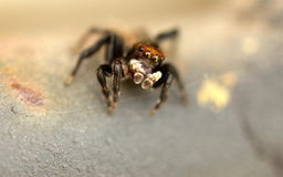 Jumping spider Stock Image